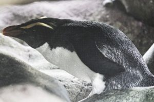big_bay_crested penguin-1296_resultat