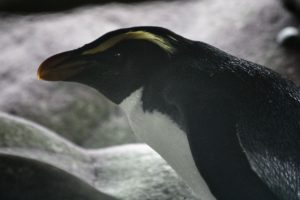 big_bay_crested penguin-1304_resultat